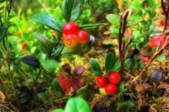 Det er mye tyttebær og også blåbær i Ertemarka, til glede for aktive bærplukkere.