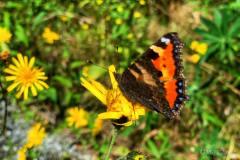Sommerfugler finnes det mange av i dette området, sammen med mange andre insekter, er de en del av Alv Uddas rike
