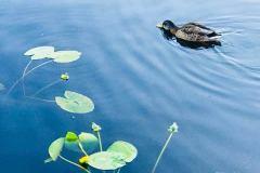 Det er ikke bare svaner som svømmer i Svanedammen